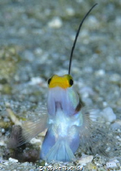 Pop Out/Filament Finned Shrimp Goby showed up from the hole. by Yosuke Tsuchida